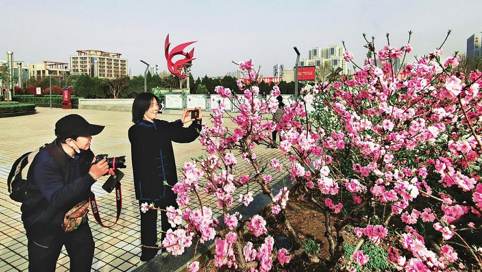 """3月27日,市民在运城市南风广场拍摄绽放的寿星桃。南风广场作为运城的""""城市客厅"""",一直是市民们锻炼、休闲的好去处。近日,气温回升,南风广场的紫荆花、寿星桃等竞相绽放,吸引市民前来观赏。(山西日报 杜姿泫 摄)"""