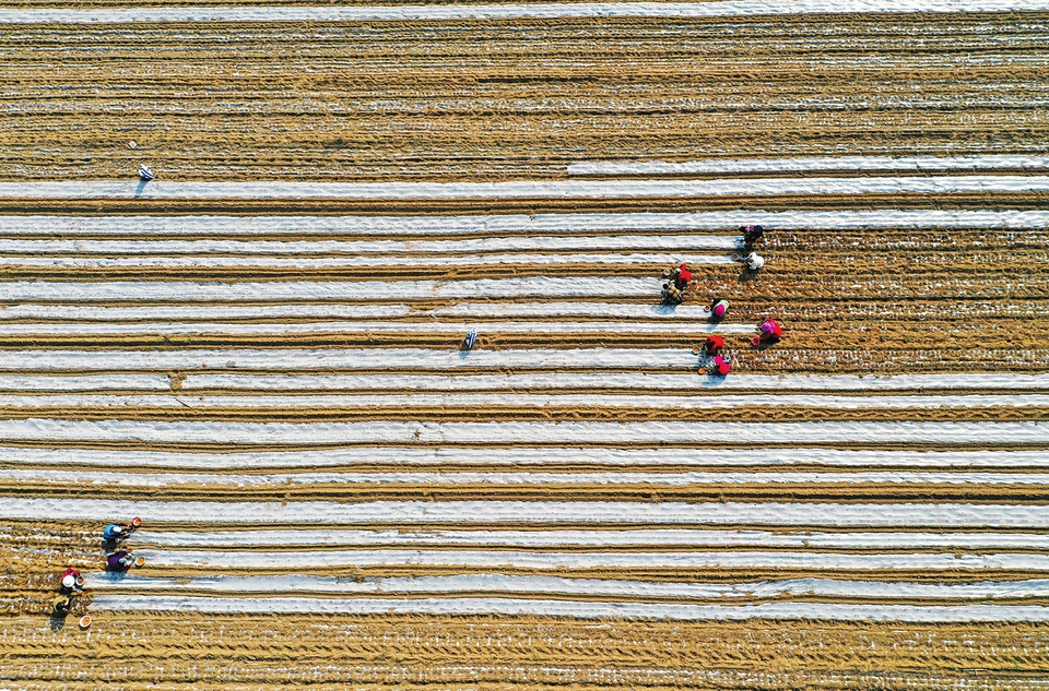 4月5日,在临汾市襄汾县西贾乡安咸平村,建卫家庭农场的社员们在种植中药材地黄。近年来,襄汾县积极打造东西两山、南贾和汾阳岭周边四大中药材种植产区,全县中药材种植面积稳定在5.7万亩左右,帮助农民增加收入。(山西日报 李现俊 摄)